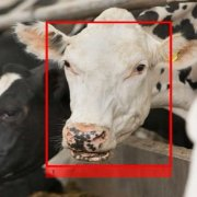 Cargill聯合Cainthus,將影像識別技術應用於牛隻辨識,方便管理與追蹤牛隻狀況